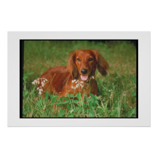 Dachshund Long Haired Red Poster