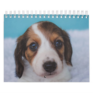 Dachshund Puppies Wall Calendars