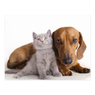 Dachshund Puppy Dog& Kitten Blank Postcard