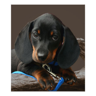 Dachshund puppy photo print