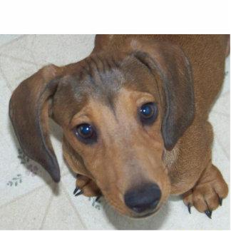 "Dachshund Puppy -""The look "" Sculpture Standing Photo Sculpture"