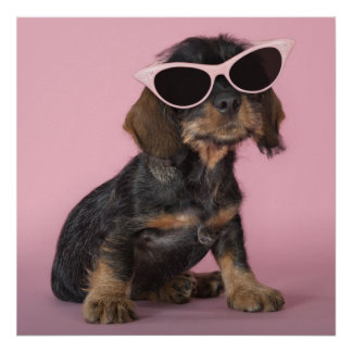 Dachshund puppy wearing sunglasses poster