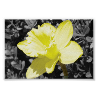 Daffodil In Bloom Poster