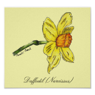 Daffodil Narcissus Poster