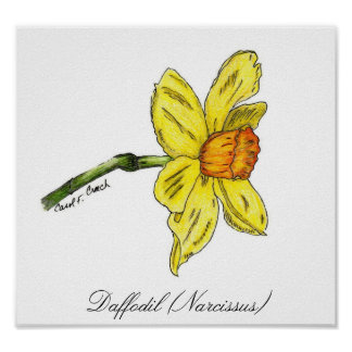 Daffodil (Narcissus) Posters