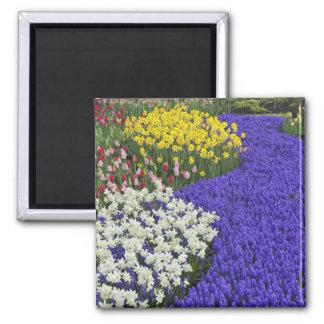 Daffodils and Grape Hyacinth, Keukenhof 2 Magnets