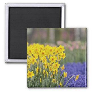 Daffodils and Grape Hyacinth, Keukenhof Square Magnet