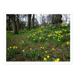 Daffodils. Sophia Gardens, Cardiff, Wales. UK Postcard
