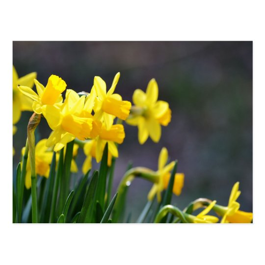Daffodils Upclose Postcard