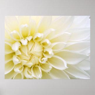 Dahlia blanc poster
