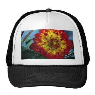 Dahlia hybride casquette
