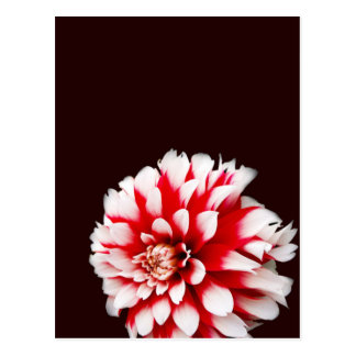 Dahlia on red Background Postcard