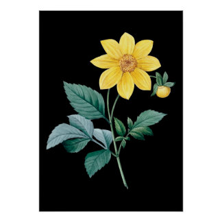 Dahlia yellow flower black poster