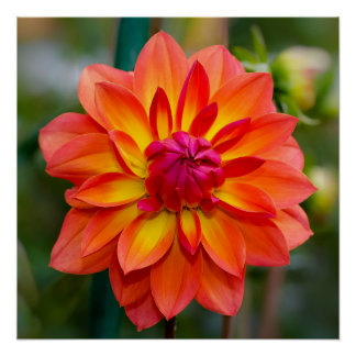 Dahlia Perfect Poster