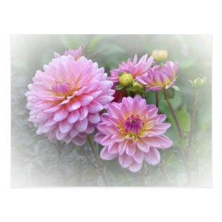 Dahlias roses cartes postales