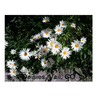 Daisies, Vail CO 1 Postcard