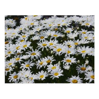 Daisy Bed Postcard