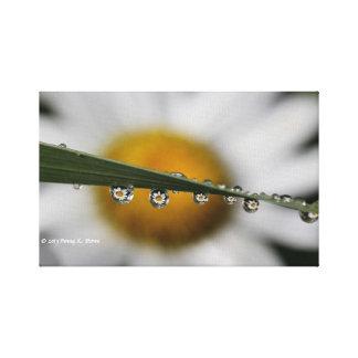 Daisy Drops nature photograph Canvas Print