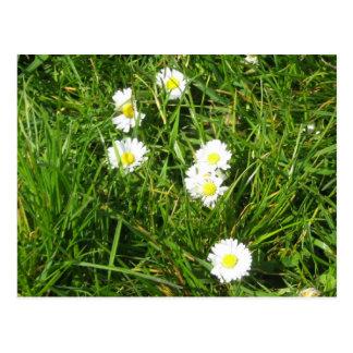 Daisy fresh postcard