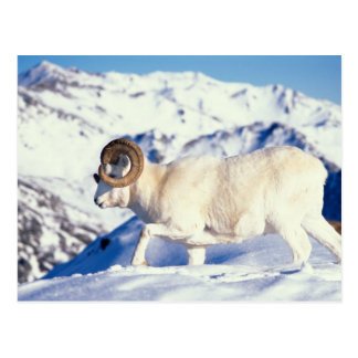 dall sheep, Ovis dalli, full curl ram on a Postcard