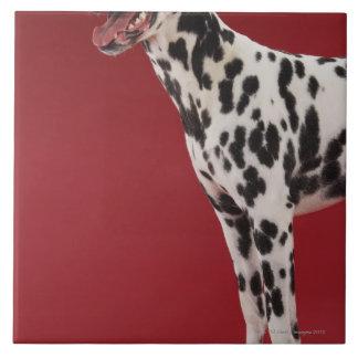 Dalmatian 6 tile