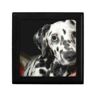 Dalmatian dog, pretty lookking gift box