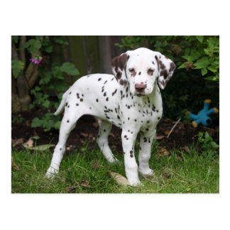Dalmatian puppy dog postcard