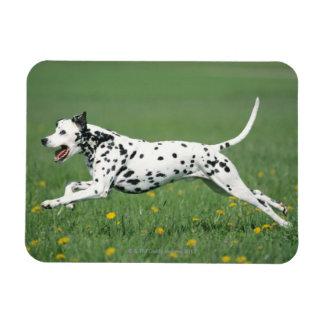 Dalmatian Running Magnet