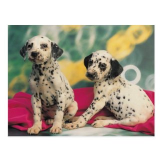 Dalmation Puppies Postcard