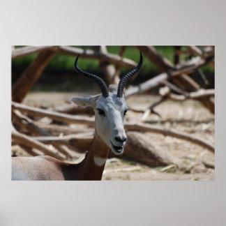 Dama Gazelle Poster