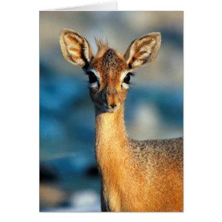 Damara Dik-Dik, Etosha National Park, Namibia Card