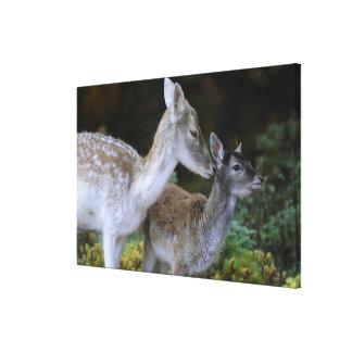 Damwild, Dama dama, fallow deer, Hirschkalb 2 Gallery Wrap Canvas