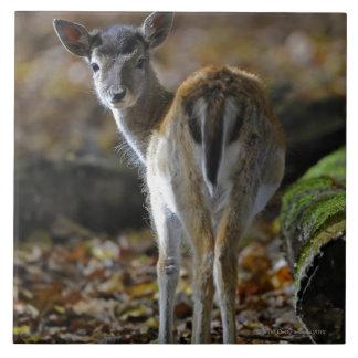 Damwild, Dama dama, fallow deer, Hirschkalb Ceramic Tile