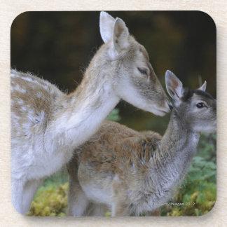 Damwild, Dama dama, fallow deer, Hirschkalb Coaster