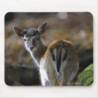 Damwild, Dama dama, fallow deer, Hirschkalb Mouse Pad