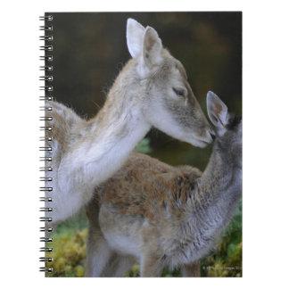 Damwild, Dama dama, fallow deer, Hirschkalb Note Book