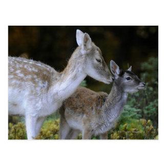 Damwild, Dama dama, fallow deer, Hirschkalb Postcard