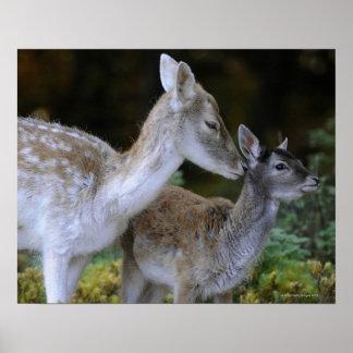 Damwild, Dama dama, fallow deer, Hirschkalb Poster