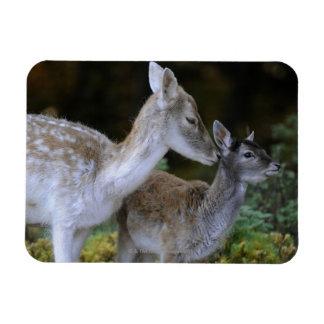 Damwild, Dama dama, fallow deer, Hirschkalb Rectangular Photo Magnet