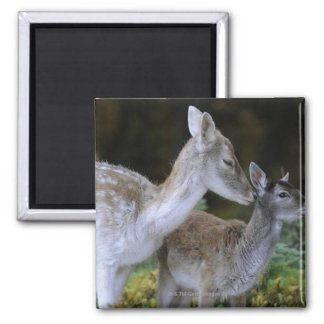 Damwild, Dama dama, fallow deer, Hirschkalb Square Magnet