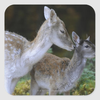 Damwild, Dama dama, fallow deer, Hirschkalb Square Sticker