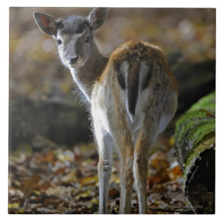 Damwild, Dama dama, fallow deer, Hirschkalb Tiles