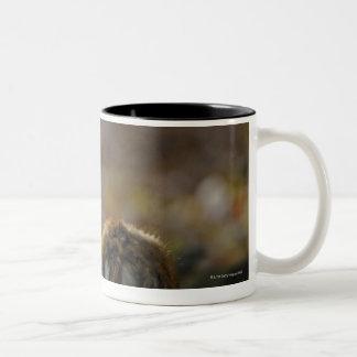 Damwild, Dama dama, fallow deer, Hirschkalb Two-Tone Coffee Mug