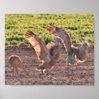 Dancing Sandhills Cranes Poster