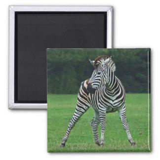 Dancing Zebra magnet