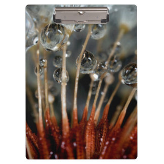 Dandelion and water drops, CA Clipboards