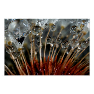Dandelion and water drops, CA Poster