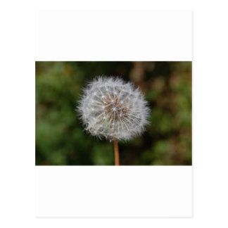 Dandelion Clock / Fluffy Parachutes Postcard