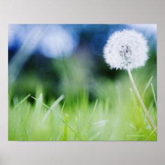 Dandelion in meadow poster