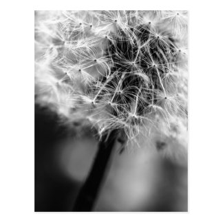 Dandelion Monochrome Postcard